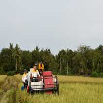 Gubri hadiri Panen raya di Kecamatan Bantan